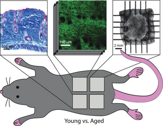 Regional-Dependent Biaxial Behavior of Young and Aged Mouse Skin